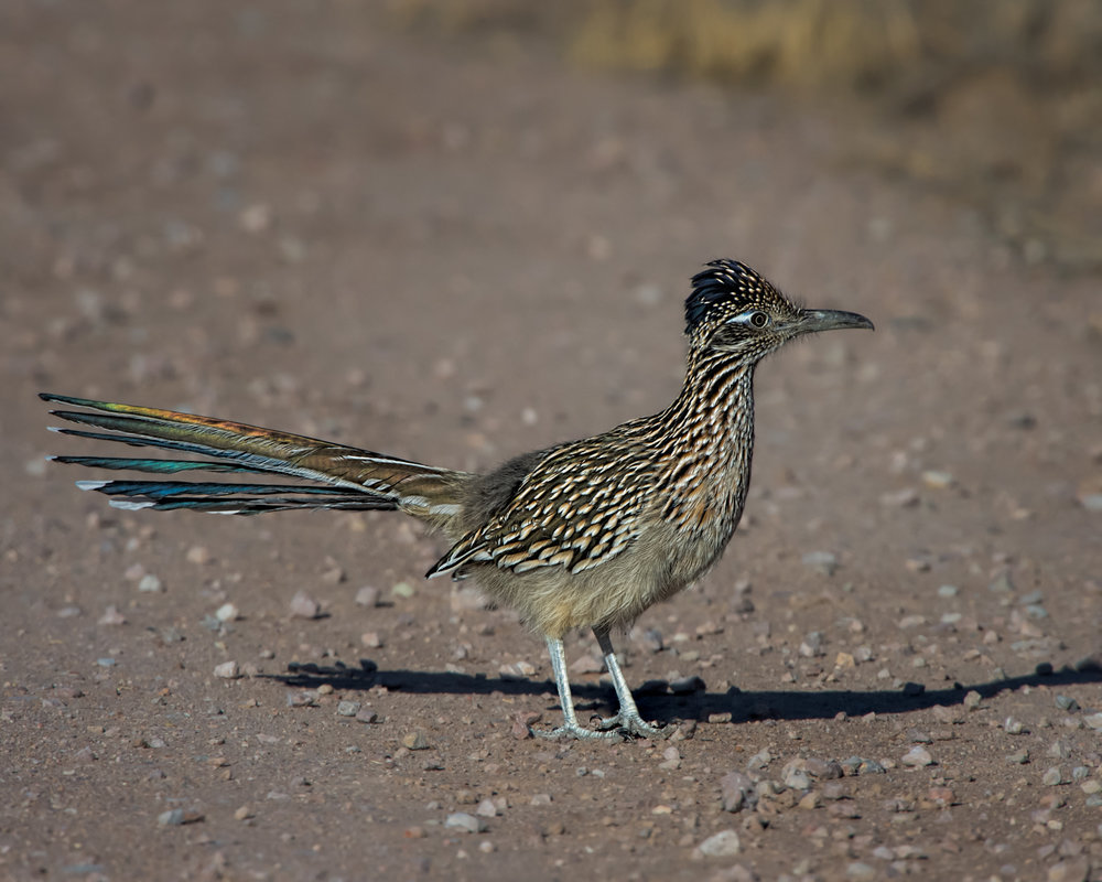 Greater Roadrunner, Bosque del Apache NWR, Nov. 2015