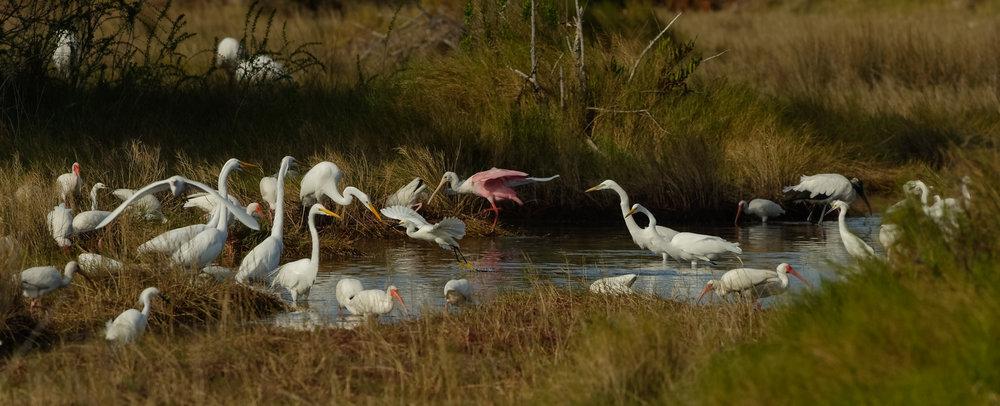 Snowy Egret Foot-dragging, Merritt Island NWR (TX), 2015