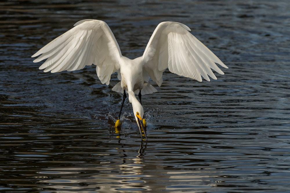 Snowy Egret, Striking while Foot-dragging, Merritt Island NWR (TX), 2015