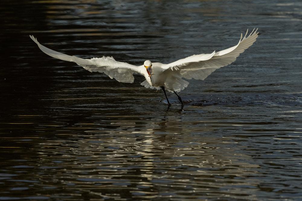 Snowy Egret with minnow captured while foot-dragging, Merritt Island NWR (TX), 2015