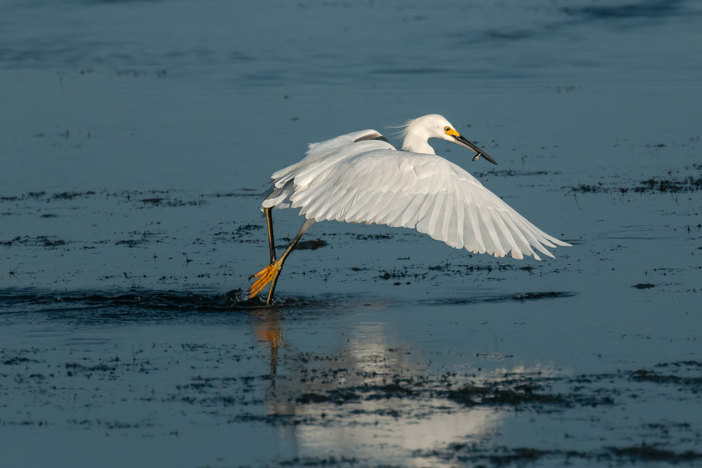 Snowy Egret with minnow captured while foot-dragging, Merritt Island NWR (TX), 2015