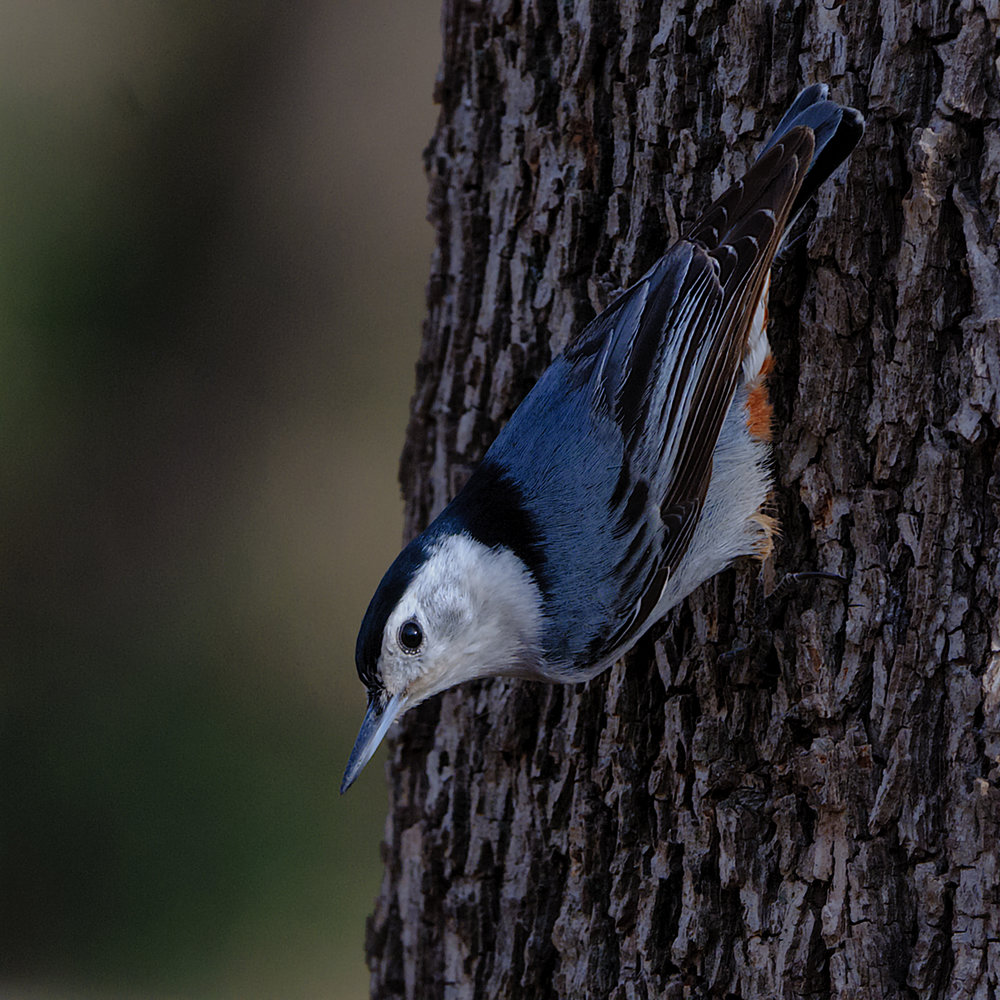 White-breasted Nuthatch, Patagonia, AZ - 2014