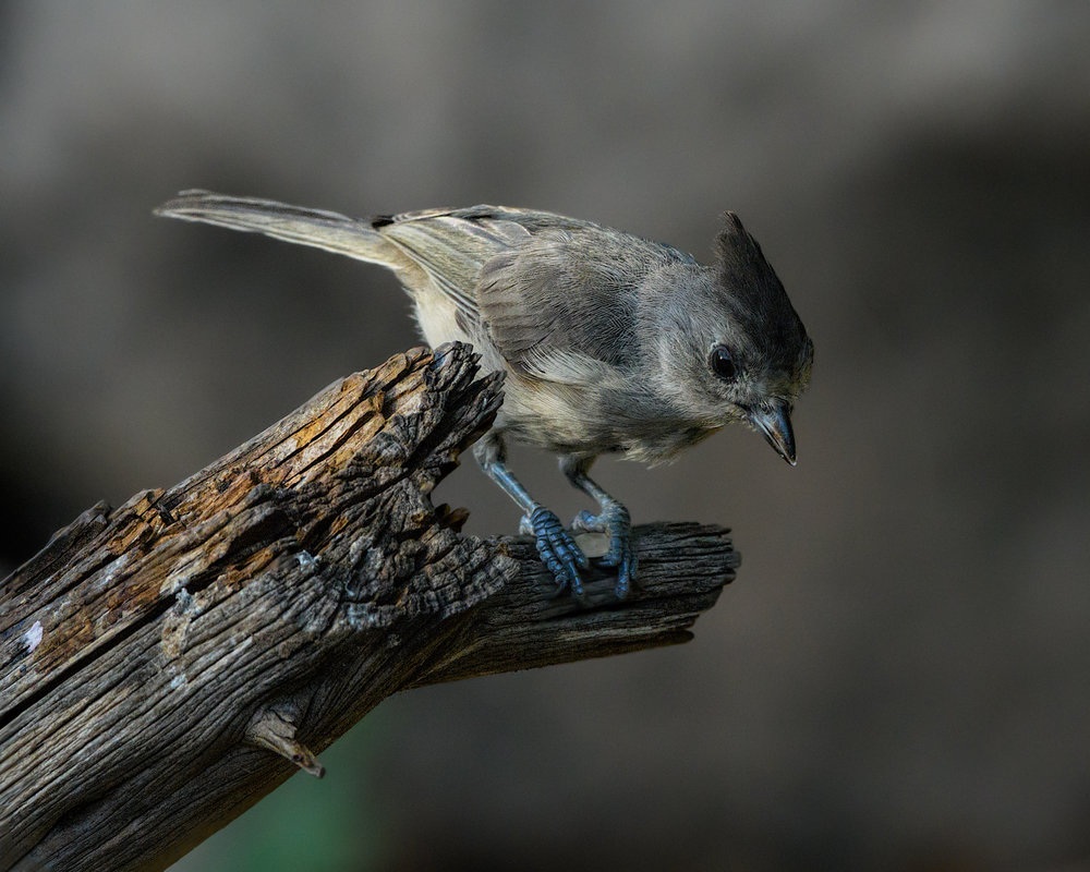 Black-crested Titmouse, South LLano River State Park (TX) - 2016
