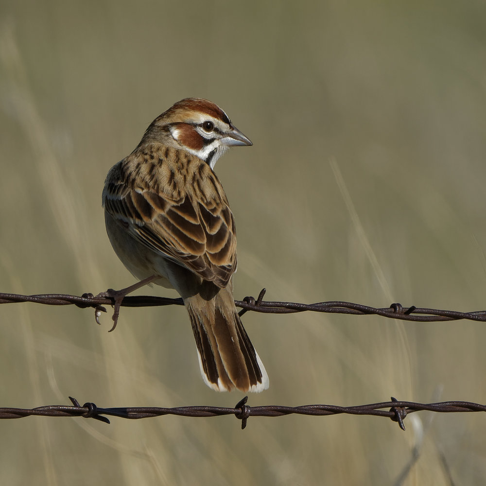 Lark Sparrow, El Paso County (CO) - 2017