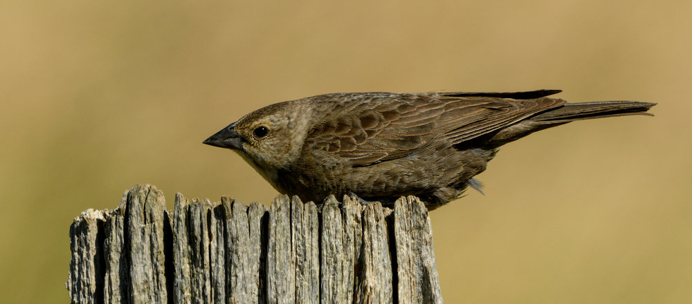Brown-headed Cowbird, East of Amidon (ND) - 2017