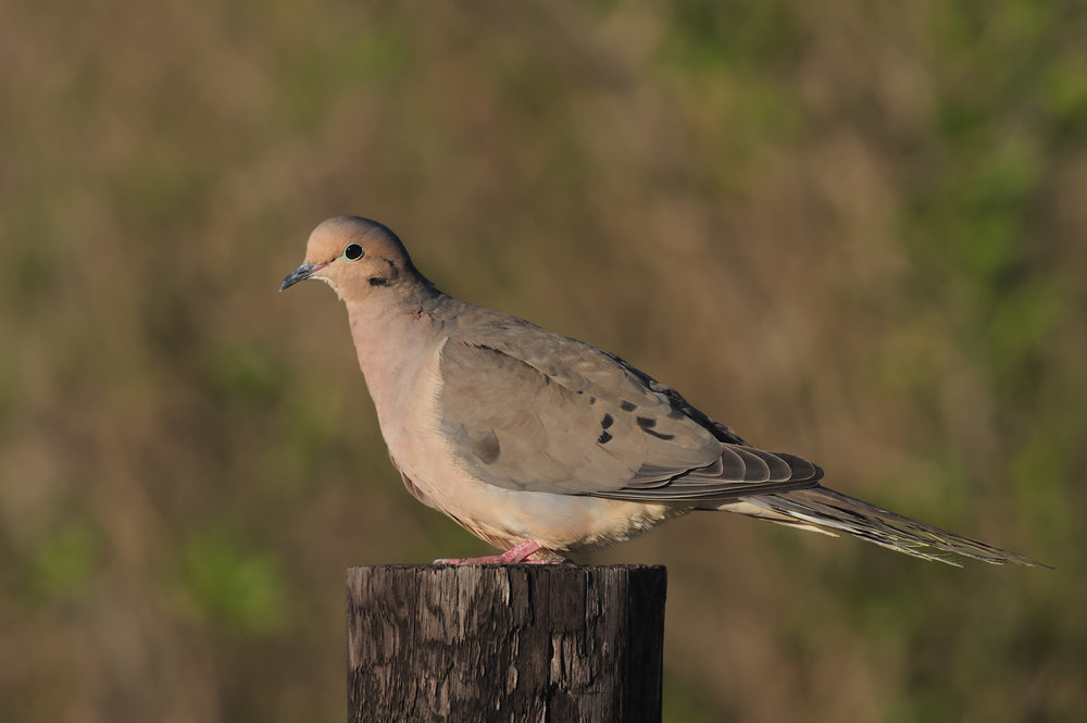 Mourning Dove, Anahuac NWR (TX) - Feb. 2016