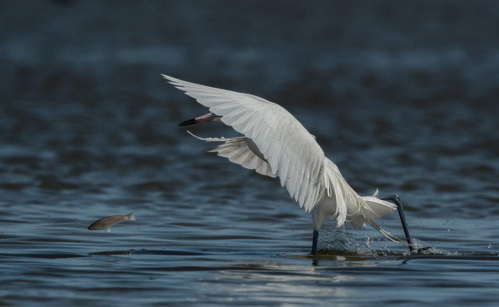 White morph Reddish Egret - Bolivar Peninsula (TX)