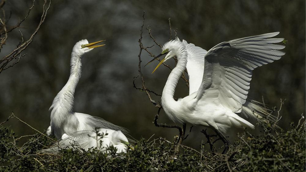 Great Egrets - High Island, TX