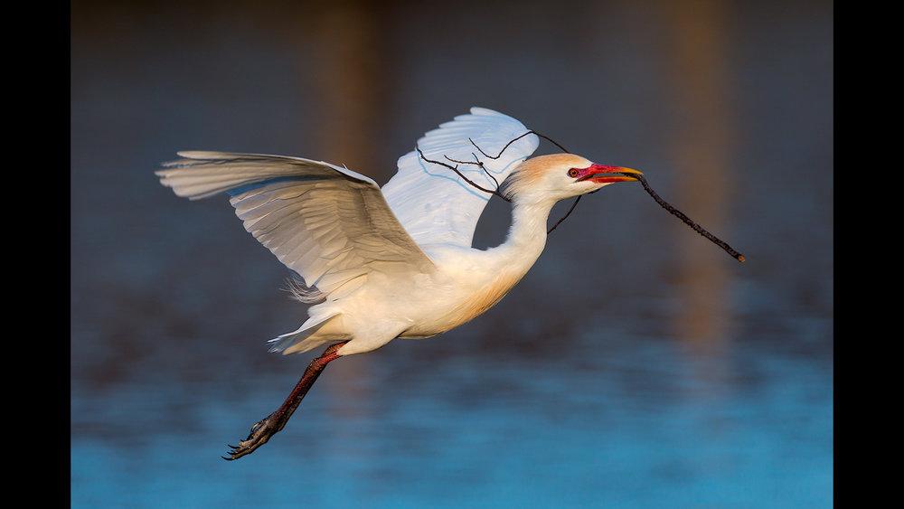 Cattle Egret - Jefferson Island, LA