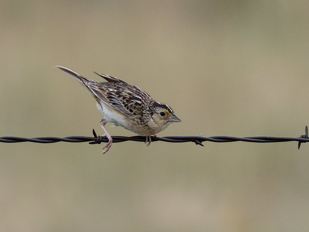 Grasshopper Sparrow (6 of 9)