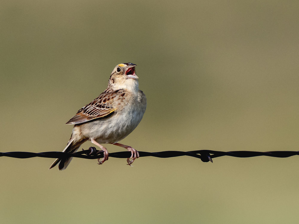 Grasshopper Sparrow (8 of 9)
