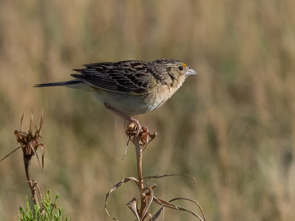 Grasshopper Sparrow (7 of 9)