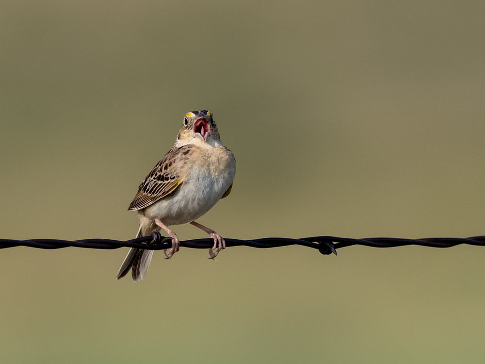 Grasshopper Sparrow (9 of 9)