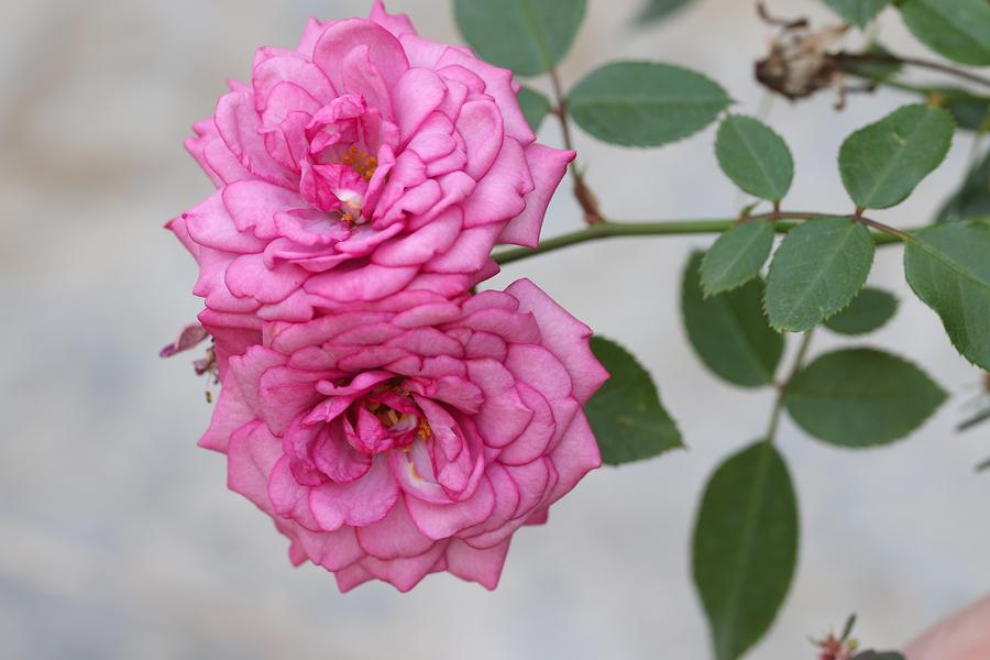 bigstock-Pink-rose-in-garden--109457462.jpg