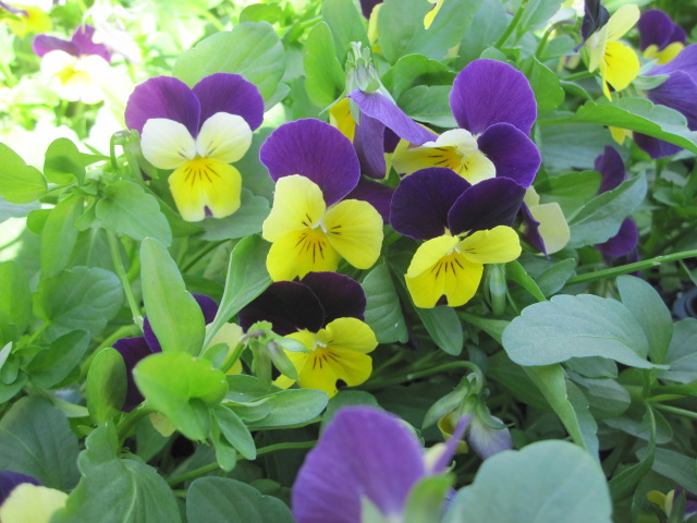 Fall flower, Viola (JM).JPG