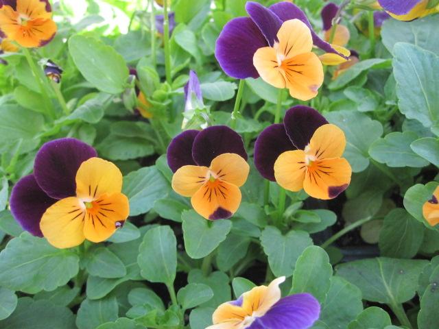 Fall flower, Viola, Penny Orange Jump-Up (JM).JPG