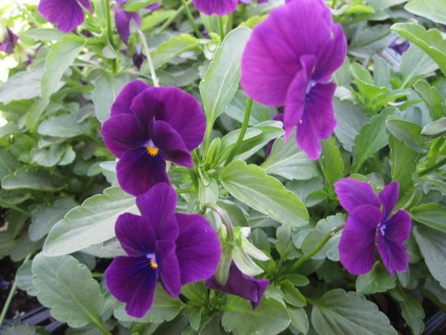 Fall flower, Viola, Penny Violet (JM).JPG