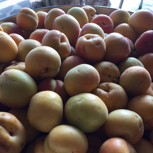 Apricots anyone?