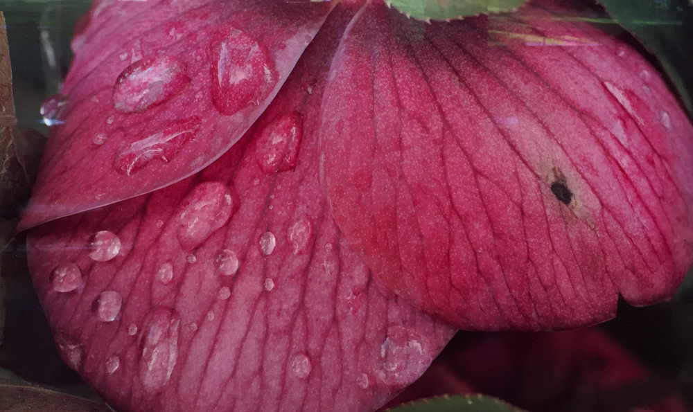 Hellebore After Rain Ray Redd .jpg