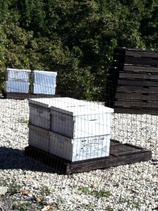 These bee colonies play a key role in helping the avocado trees reproduce.