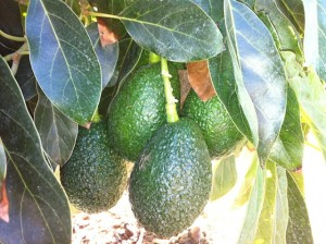 Young HASS Avocados at Rancho Simpatoca