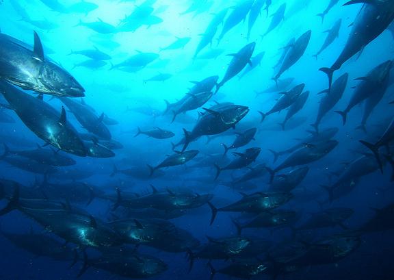 school-of-tuna.jpg