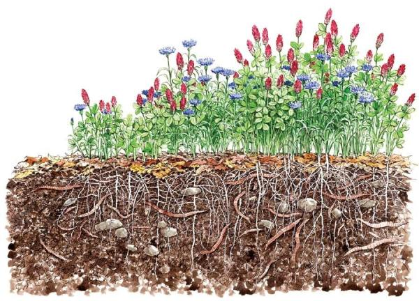 Cover crops enriching and aerating soil. (credit: Mother Earth News)