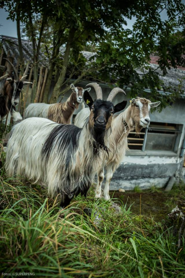Die Ziegen Romeo, Julia Antonio und Gloria