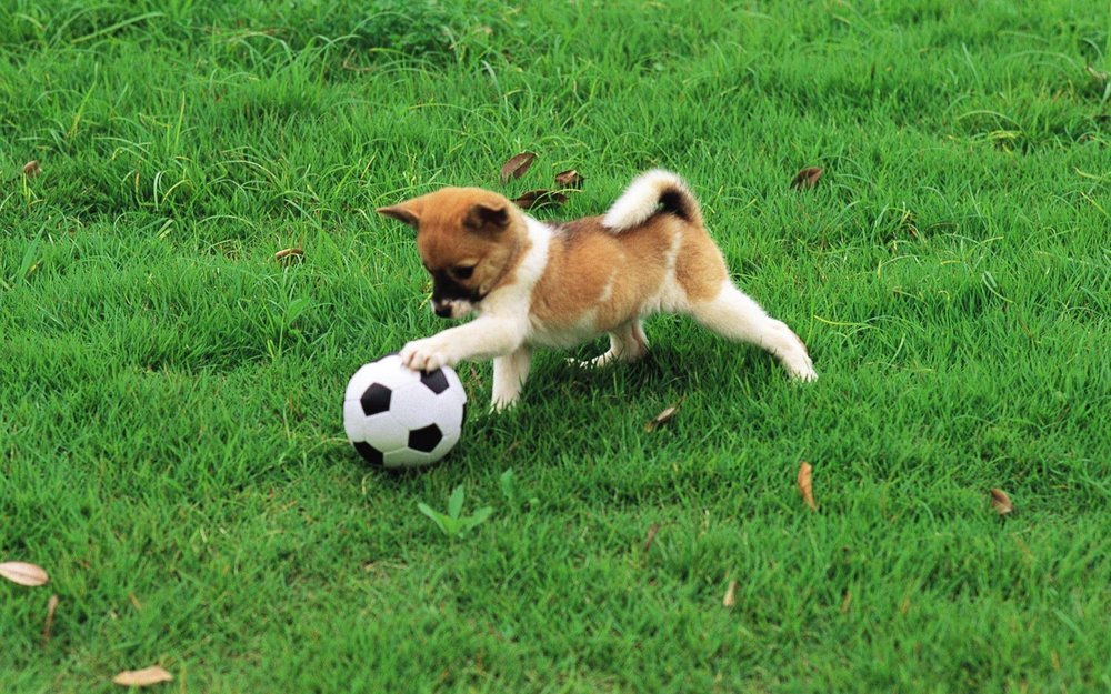 357994-dogs-dog-playing-with-soccer-ball.jpg