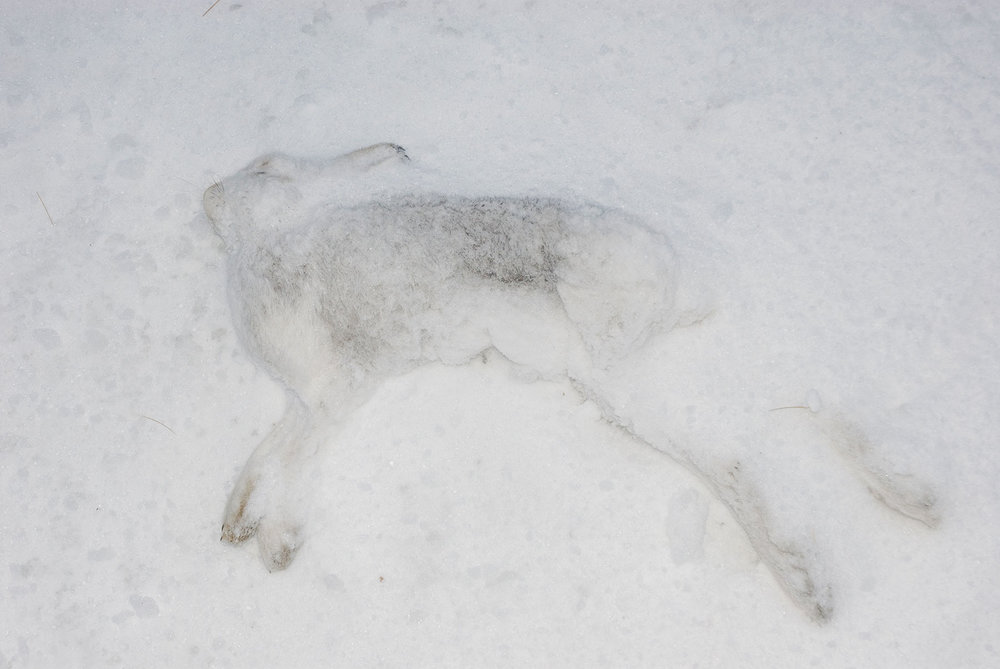 © Natalie Feather // Snow Hare