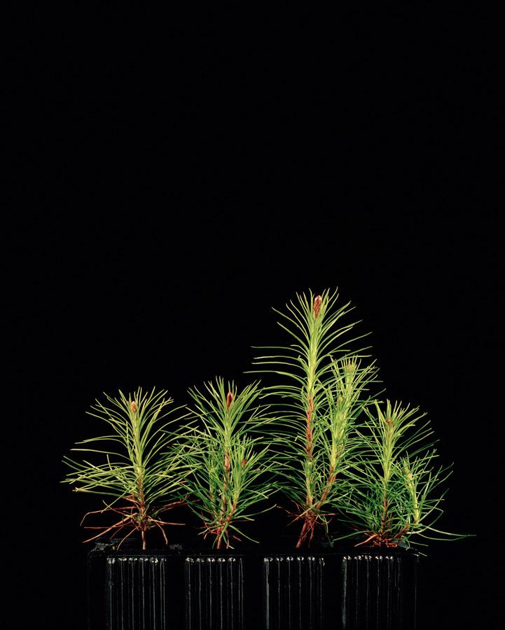 Pinus sylvestris // ©Katie Blair Matthews