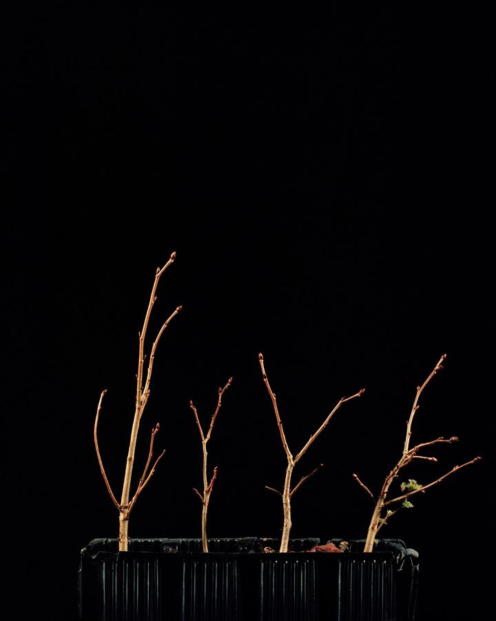 Ulmus glabra // ©Katie Blair Matthews