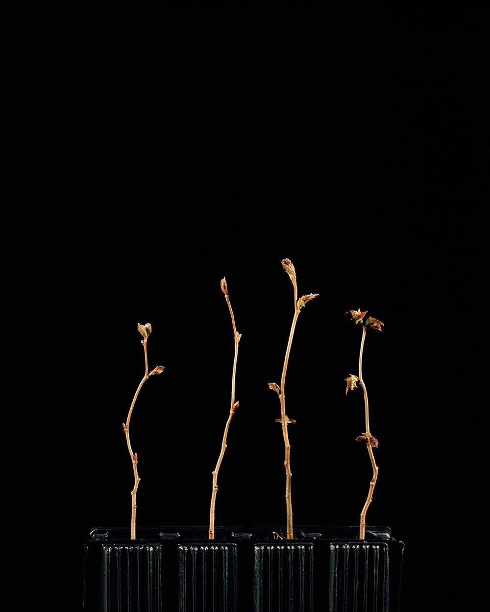 Corylus avellana // ©Katie Blair Matthews