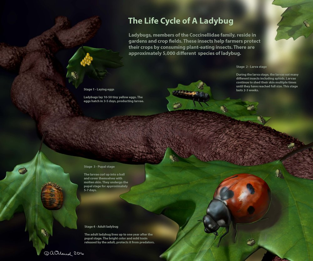 T  he Life Cycle of A LadyBug.  This poster was created to teach the general public about the ladybug and their various developmental stages. The poster was created using a combination of the 3D program Pixologic ZBrush and Photoshop.