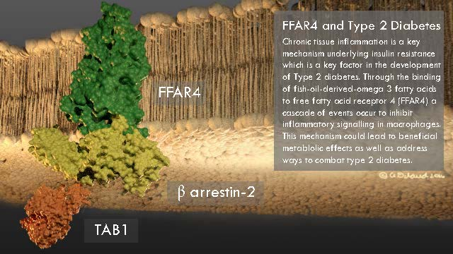 FFAR4 and Type 2 Diabetes.  This is an informative molecular poster that focuses on a portion of the  mechanism behind chronic tissue inflammation. Chronic tissue inflammation is a key mechanism underlying insulin resistance which is a key factor in the development of Type 2 Diabetes. This poster was created using the Visual Molecular Dynamics (VMD), After Effects, and Photoshop.