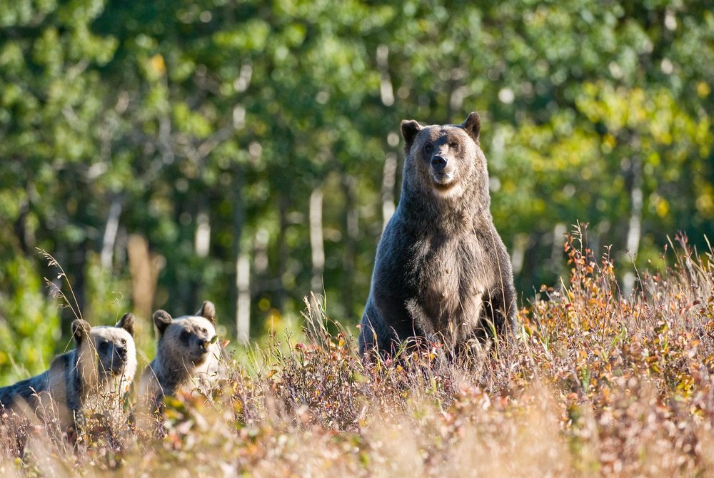 Two year-and-a-half-old glacier park grizzly bear cubs keep a watchful eye on their mother as she keeps an eye out for danger. © Tony Bynum