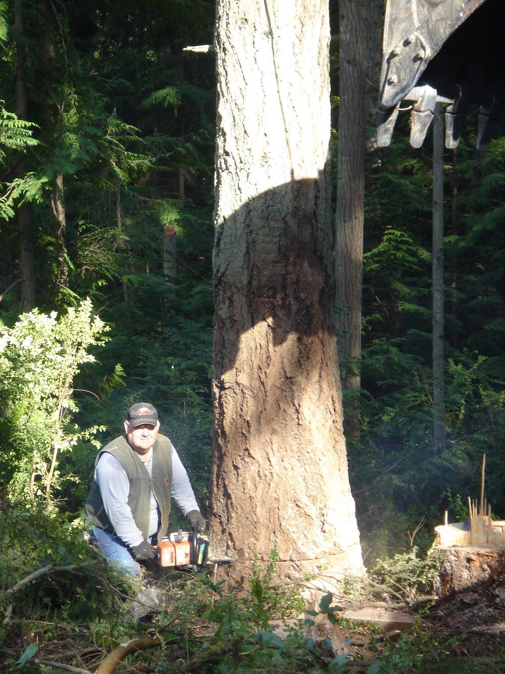 cut down tree.JPG