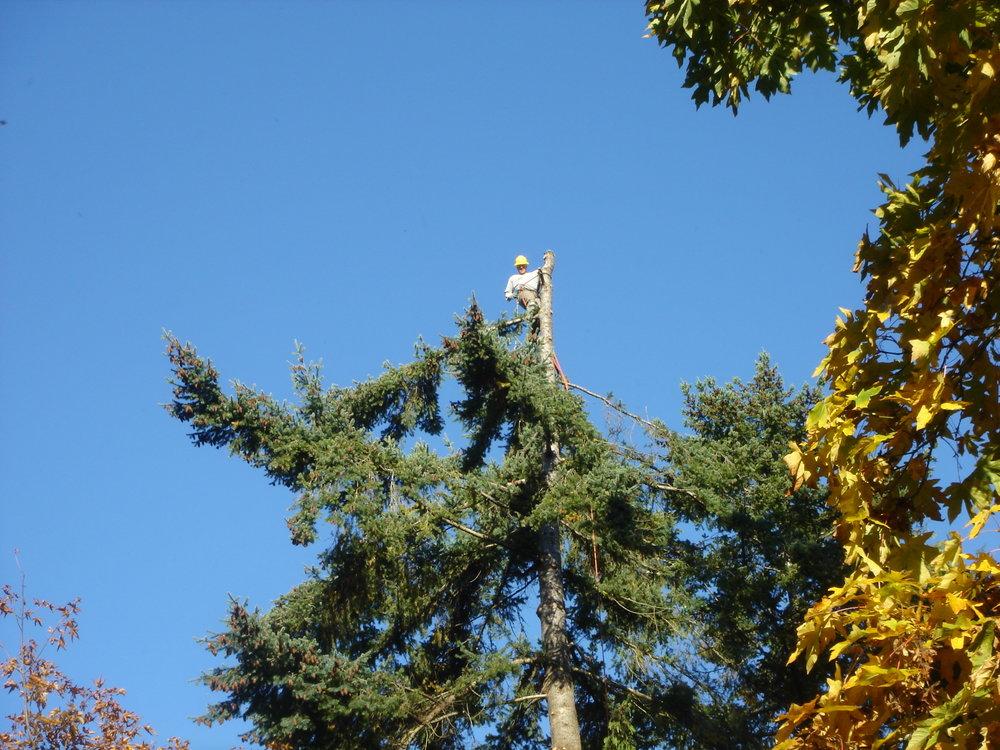 tree trim 2.JPG
