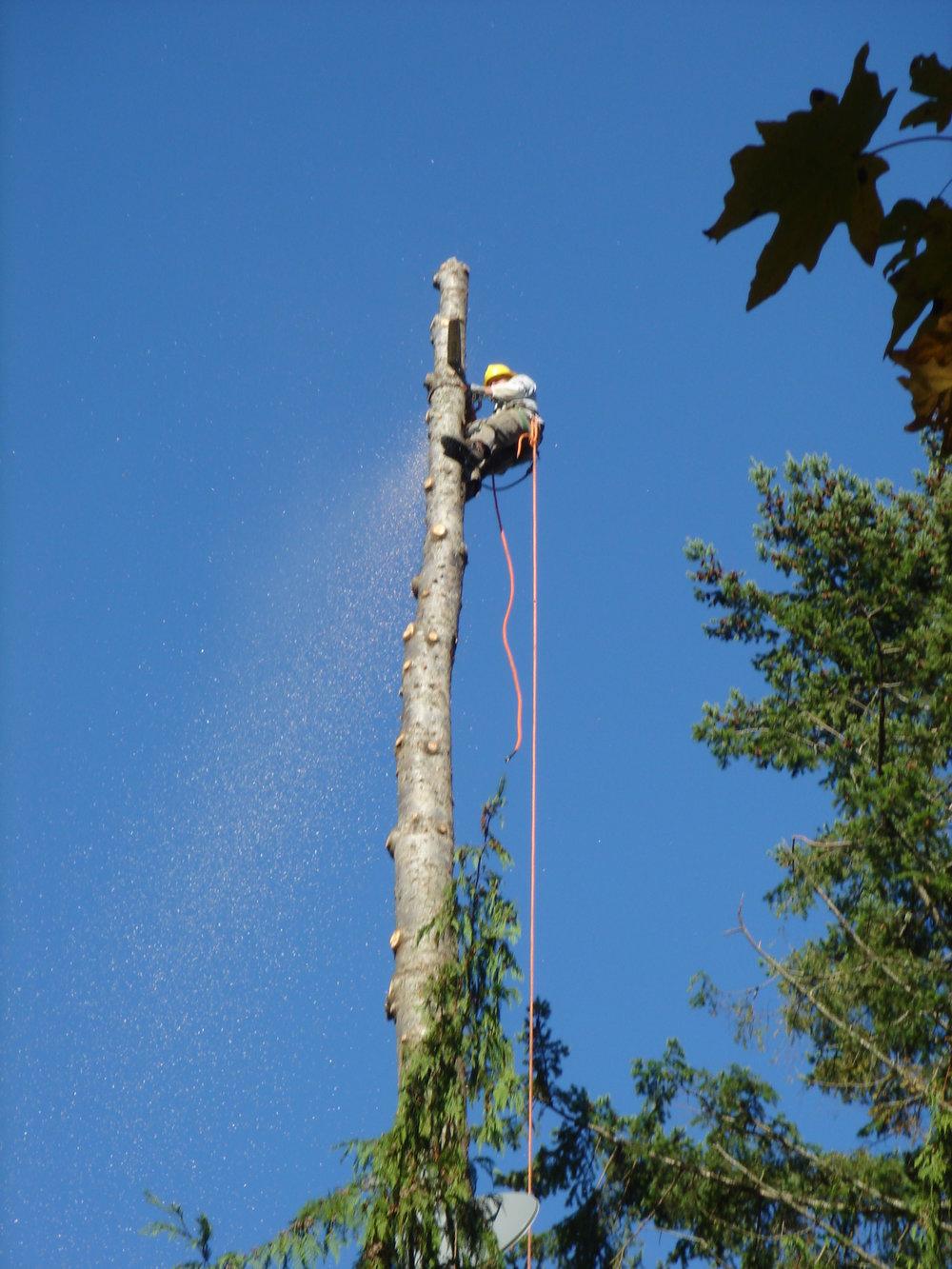 tree trim.JPG