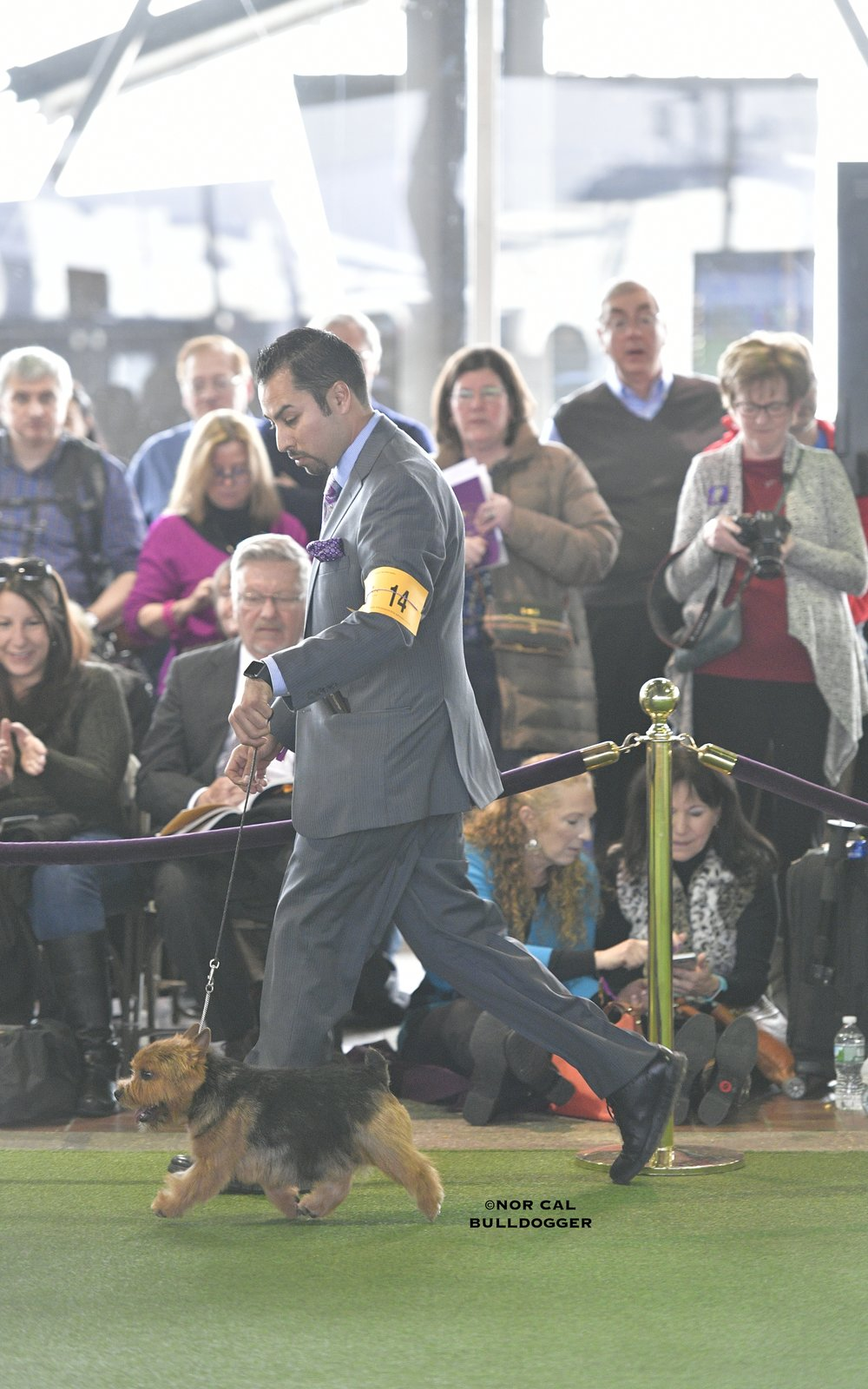 Skip moving along at the 2017 Westminster Kennel Club.