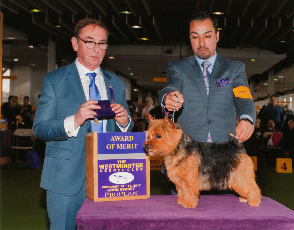 Skip at Westminster Kennel Club 2017, winning 1st Award of Merit under judge Bruce Schwartz, handled by Alfonso Escobedo.