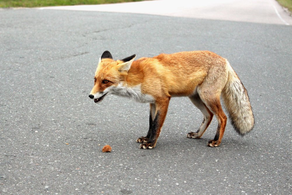 A fox walked right up to us and someone tossed it some food.