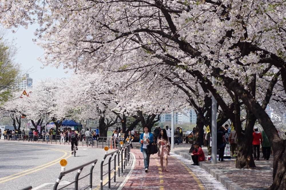 Cherry blossoms in Seoul.   Image source .