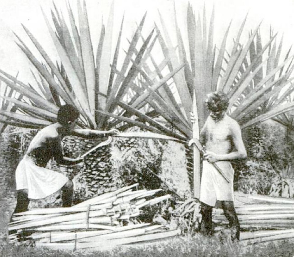 Henequén harvesting in 1922. Source:  commons.wikimedia.org .