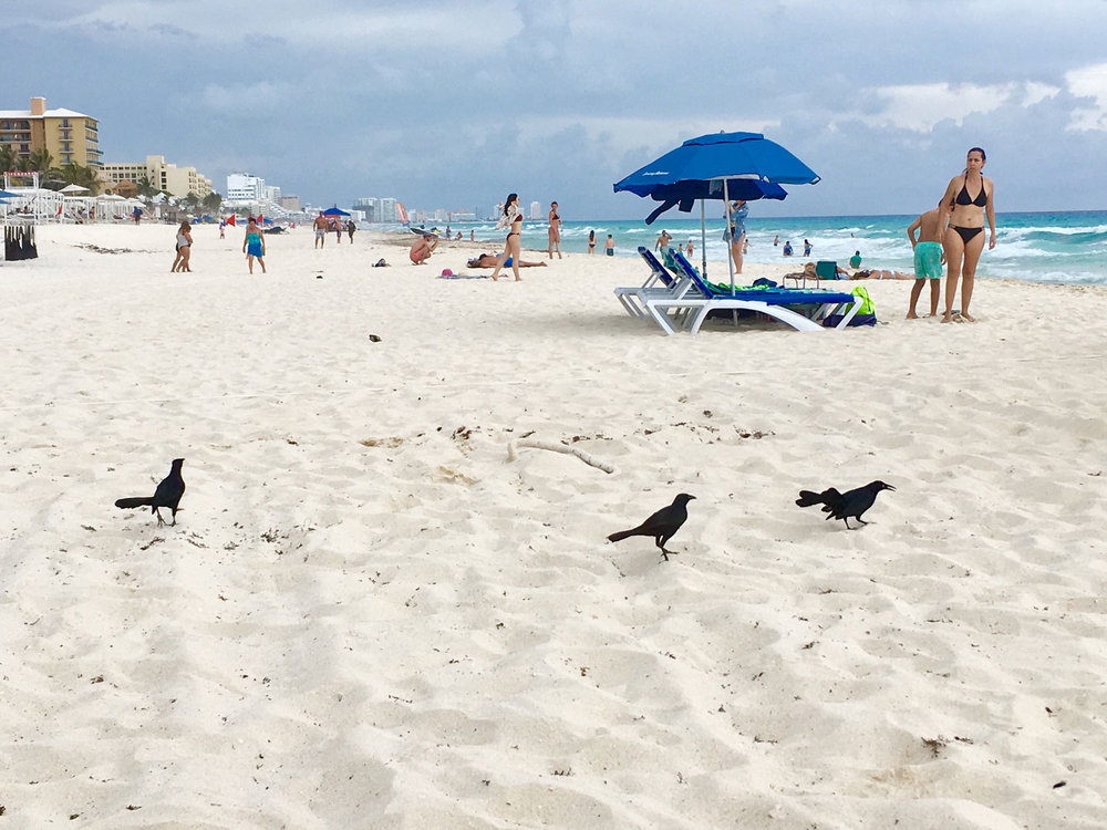 Grackles just love the beaches in Riviera Maya.