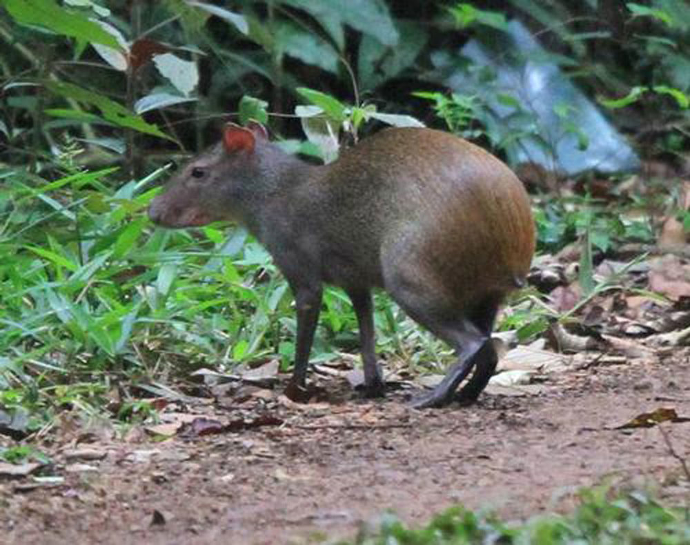 Try to spot the Agouti, native to Middle America.