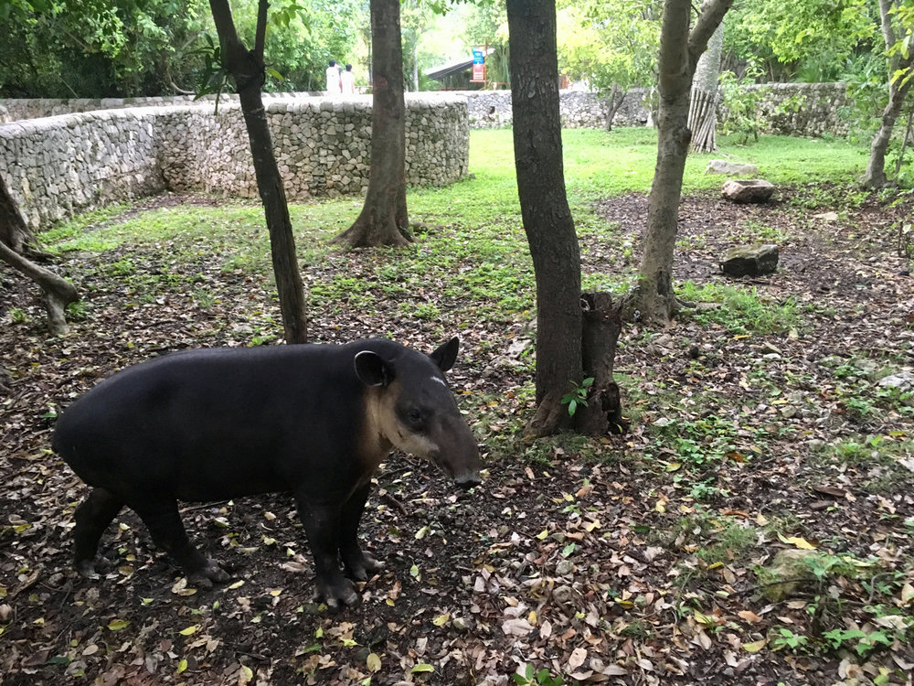 Tapir live right by the ruins.