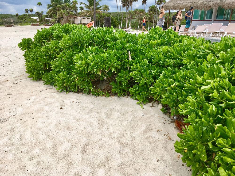 Beach cabbage or naupaka (scaevola taccada).