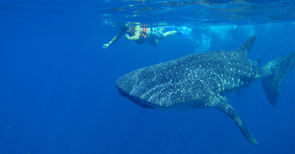 Swimming with whale sharks:  aquaworld.com.mx .