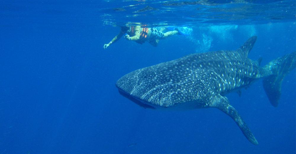 Swimming with whale sharks:  aquaworld.com.mx .